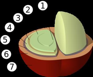 Budowa ziarna kawy Źródło: Wikipedia