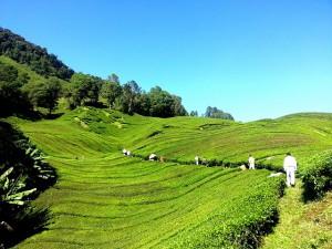 Tradycyjna plantacja herbaty