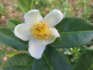 Krzew herbaciany Camellia