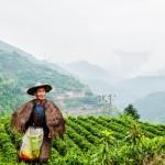 Alkaloid w herbacie – informacje