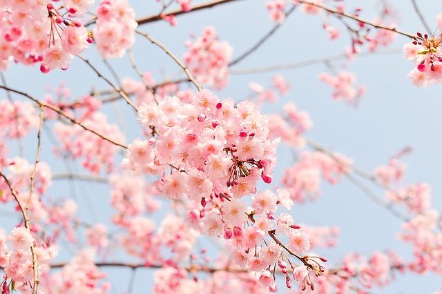 Kraj kwitnącej Wiśni
