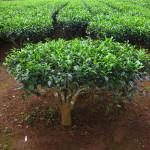 Jak rośnie herbaciany krzew?