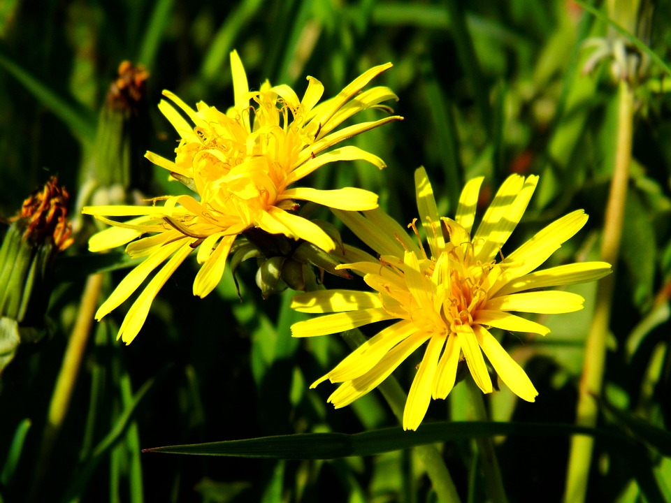Kwiaty mniszka