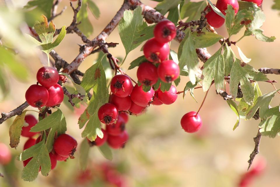 Owoce głogu