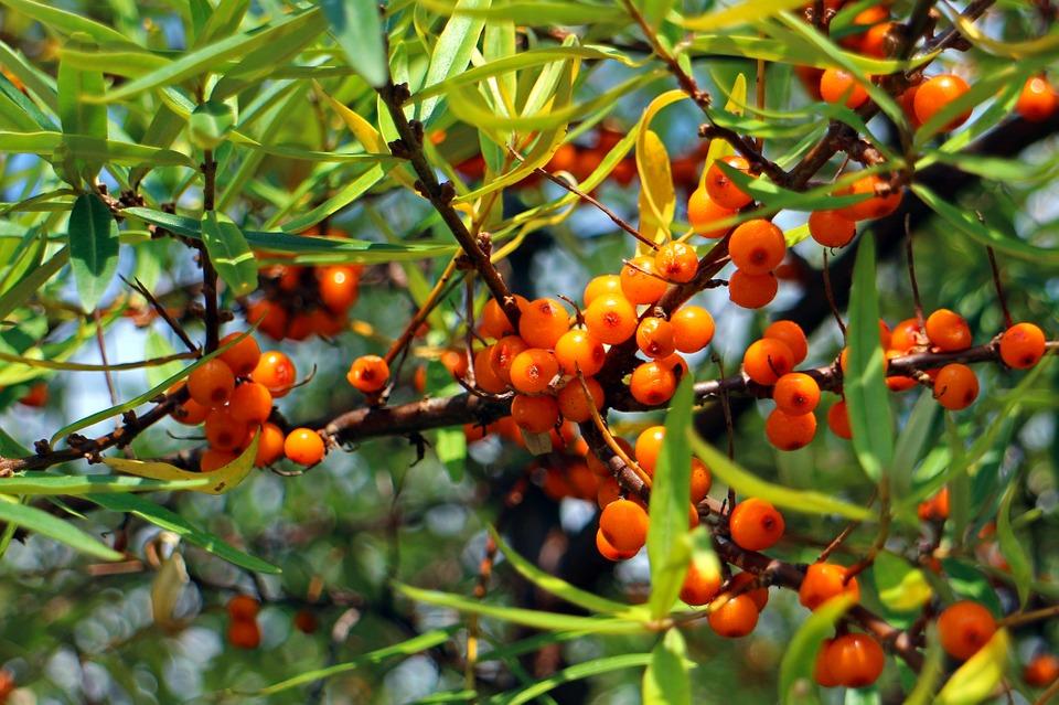 Owoce rokitnika