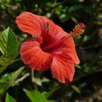 Hibiskus – na straży piękna i młodości Twojej skóry