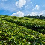 Właściwości olejku herbacianego, cz. II