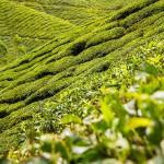 Czarna herbata – wszystko, co powinieneś o niej wiedzieć