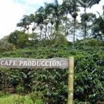 Jak wygląda plantacja kawy?