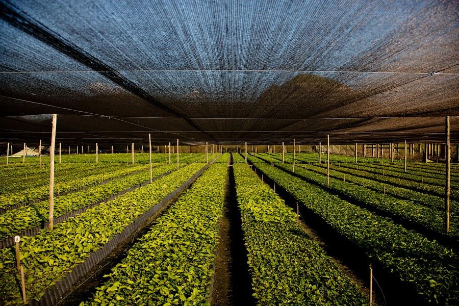 plantacja kawy pod szklarnią