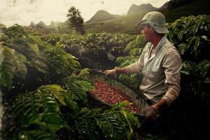 plantacja kawy w Brazylii
