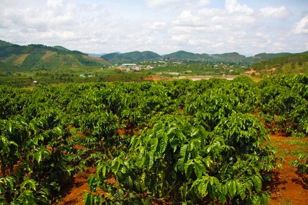 plantacja kawy w Wietnamie