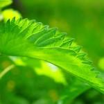Herbata ziołowa: pokrzywa