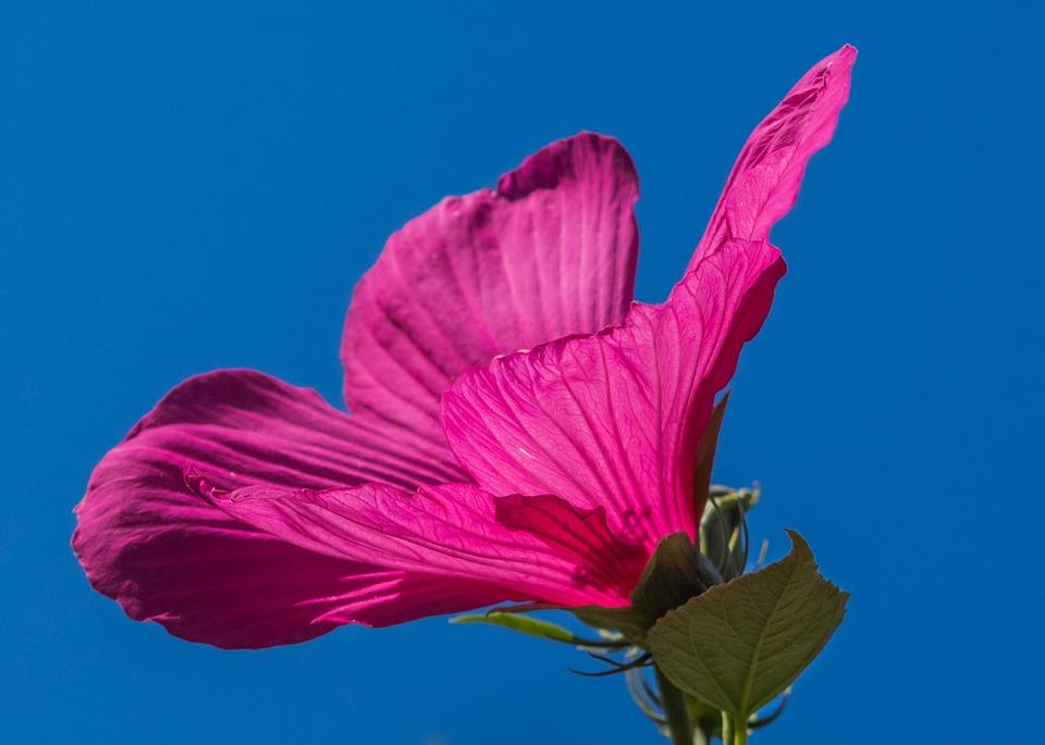 Kwiat hibiskusa