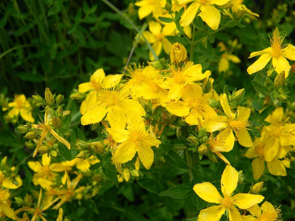 Kwiaty dziurawca