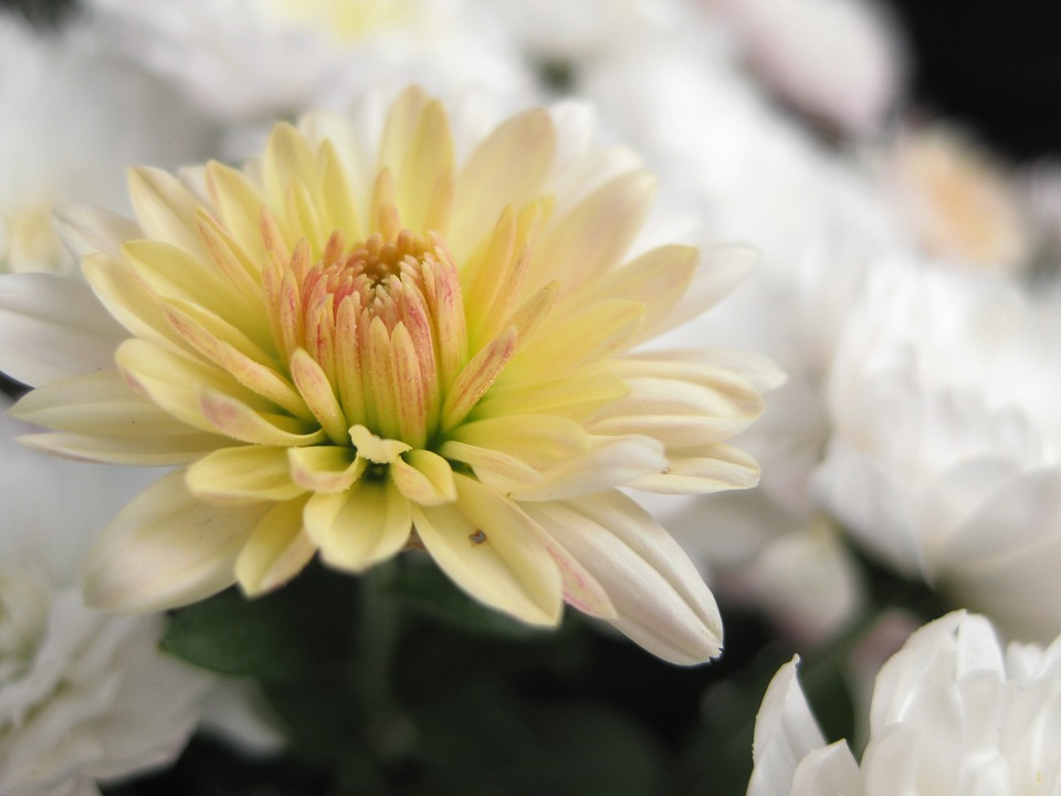 Kwiat chryzantemy