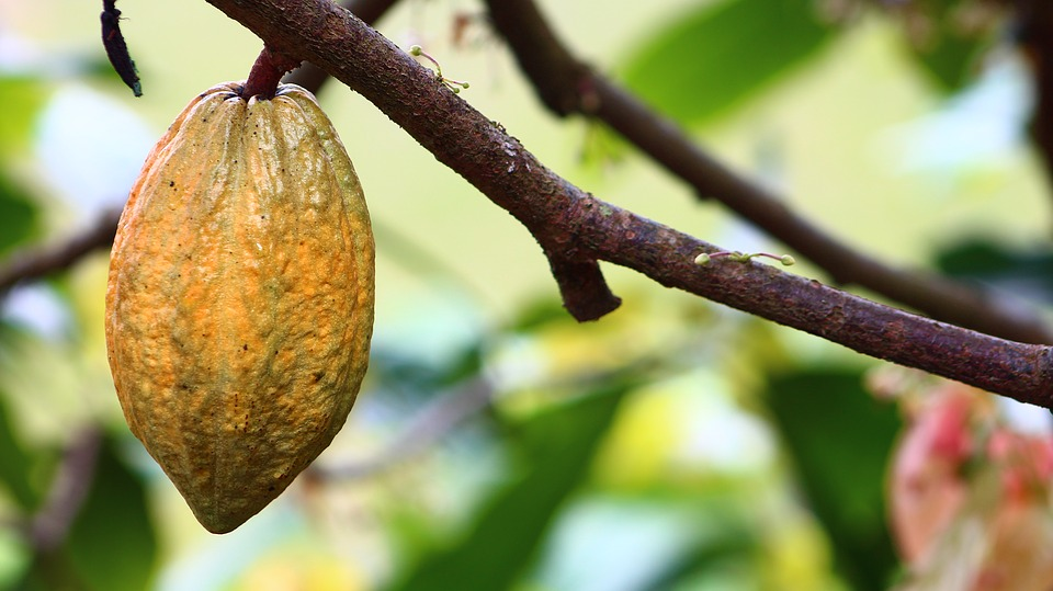 Owoc kakaowca