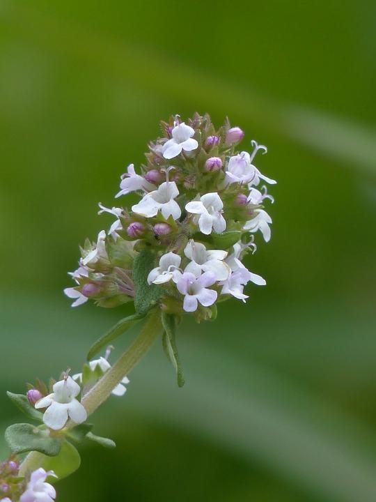 Kwiatostan macierzanki