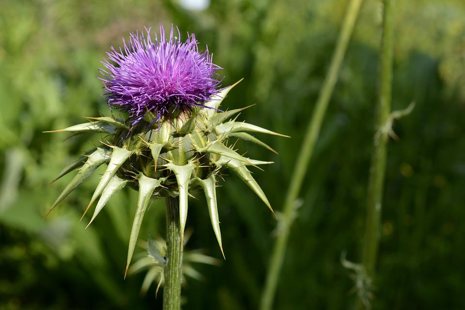 Kwiat ostropestu