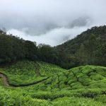 Czarna herbata z Indii