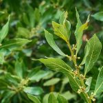 Herbata z liści laurowych